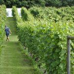 Arbete i vingården