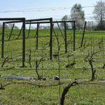 Vår i vingården