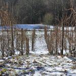 Vinter i vingården