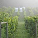tidig morgon i vingården